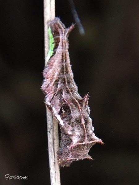 ホシミスジの幼虫