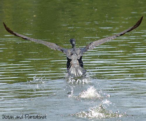 カワウの飛翔