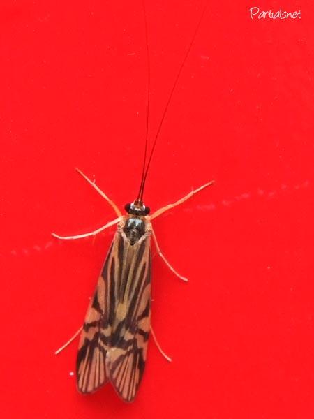 オオシマトビゲラ成虫